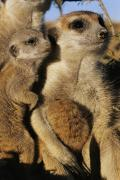 Bonding Metal Prints - Meerkat Pups With Their Caretaker Metal Print by Mattias Klum
