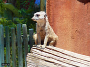 Meerkat Digital Art Prints - Meerkat Sentry Print by Methune Hively