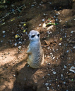 Meerkat Photos - Meerkat Spying on Neighbors by Douglas Barnett
