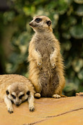 High Definition Art - Meerkat by Tosporn Preede