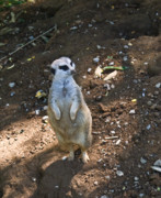 Meerkat Photos - Meerkat Viewing Neighbors by Douglas Barnett