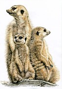 Meerkat Drawings - Meerkats by Nicole Zeug