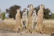Sentinels Prints - Meerkats On The Edge Print by Michael Poliza