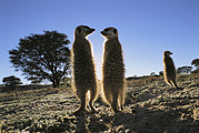Republic Of South Africa Prints - Meerkats Start Each Day With A Sunbath Print by Mattias Klum