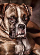 Boxer Dog Photo Framed Prints - Meet Rocky Framed Print by Deborah Benoit