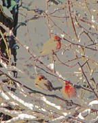 After Snowstorm Prints - meeting of the Finches... Print by Rene Crystal
