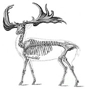 Paleozoology Art - Megaloceros, Cenozoic Mammal by Science Source