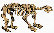 Evolution Posters - Megatherium, Extinct Ground Sloth Poster by Science Source