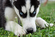 Husky Puppy Framed Prints - Meko Framed Print by Off The Beaten Path Photography - Andrew Alexander