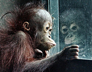 Primate Photo Prints - Melancholy Baby Print by Wade Aiken