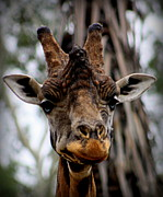 """animal Photographs"" Prints - Melbourne Zoo - 8 Print by Tam Graff"