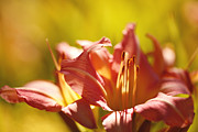 Daylily Photos - Mellow by Reflective Moments  Photography and Digital Art Images