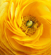 Flowers Framed Prints Prints - Mellow Yellow Print by Kathy Yates
