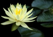 Sabrina L Ryan - Mellow Yellow Water Lily