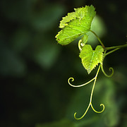 Grape Leaf Photo Prints - Memories Of Green Print by Evelina Kremsdorf
