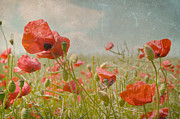 Poppies Field Digital Art - memories of summer I by Iris Lehnhardt