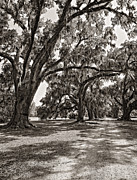Evergreen Plantation Prints - Memory Lane monochrome Print by Steve Harrington