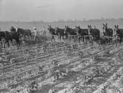 Men And Mules Cultivating Cotton Print by Everett