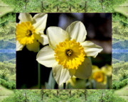 Flower Photos Framed Prints - Mendocino Daffodils Framed Print by Bell And Todd