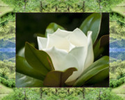 Flower Photos Framed Prints - Mendocino Magnolia Framed Print by Bell And Todd