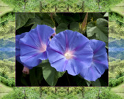 Flower Photos Framed Prints - Mendocino Morning Glories Framed Print by Bell And Todd