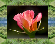 Flower Photos Posters - Mendocino Rose Poster by Bell And Todd