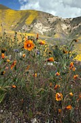 Carrizo Plain Prints - Mentzelia Pectinata Print by Bob Gibbons