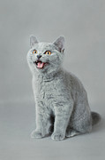 British Shorthair Art - Meow by Waldek Dabrowski