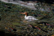 Spawning Prints - Merganser and Spawning Salmon - Odell Lake Oregon Print by Randall Ingalls