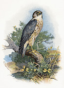 Bird Drawing Prints - Merlin, Historical Artwork Print by Sheila Terry