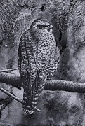 Falcon Drawings Metal Prints - Merlin Metal Print by Paul Parsons