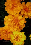 Marigolds Posters - Merry in Gold Poster by DigiArt Diaries by Vicky Browning