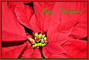 Christmas Greeting Photo Framed Prints - Merry Poinsettia Framed Print by Kristin Elmquist