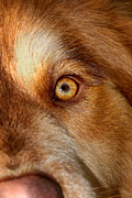 Australian Shepherd Posters - Mesmerizing Golden Eye Of Dog Poster by Tracie Kaska