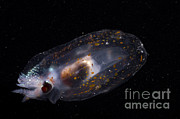 Squid Photos - Mesopelagic Squid by Dante Fenolio