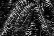 Metallic Ferns Print by Charmian Vistaunet