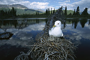 Animal Behaviour Art - Mew Gull Larus Canus On Nest In Tree by Michael Quinton