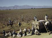 Cotton Fields Posters - Mexican Cotton Pickers Work Poster by Willard Culver