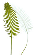 Featured Art - Mexican Cycad Leaf Mexico by Piotr Naskrecki