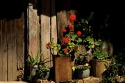 Patio Prints - Mexican Geraniums Print by Jerry McElroy