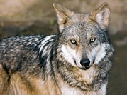 Canid Photos - Mexican Gray Wolf by Bob Gibbons