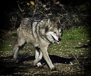 Mexican Grey Wolf 3833 Print by Barry Styles