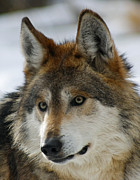 Endangered Wolves Prints - Mexican Grey Wolf Upclose Print by Ernie Echols