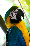 Mexican Parrot Print by Natalia Babanova