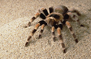 Animalsandearth Prints - Mexican Red-knee Tarantula Brachypelma Print by Gerry Ellis