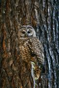 Nocturnal Animal Prints - Mexican Spotted Owl Camouflaged Against Print by Natural Selection David Ponton