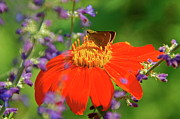 Byron Varvarigos - Mexican Sunflower And Guest