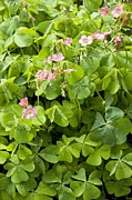 Good Luck Prints - Mexican Wood-sorrel (oxalis Tetraphylla) Print by Bob Gibbons