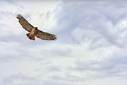 Red-tailed Hawk Prints Posters - Michigan Red-Tailed Hawk Poster by Jeramie Curtice