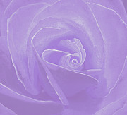 Cindy Longhini Prints - Micro Lavender Rose Print by Cindy Lee Longhini